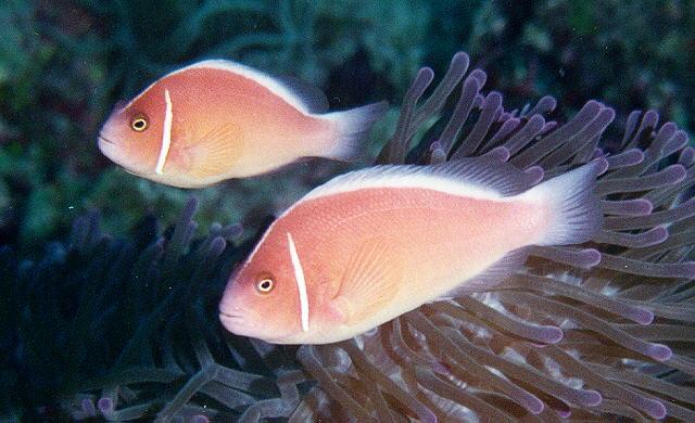 Saltwater fish pink strip skunk clown