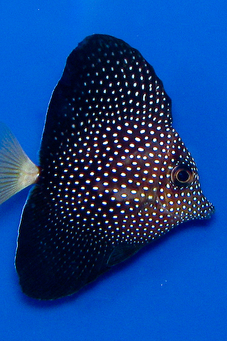 Iphone wallpapers of rare marine fish for Rare saltwater fish