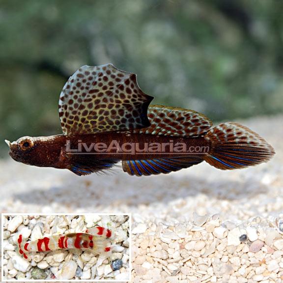 Magnificent Shrimp Goby flabelligobius